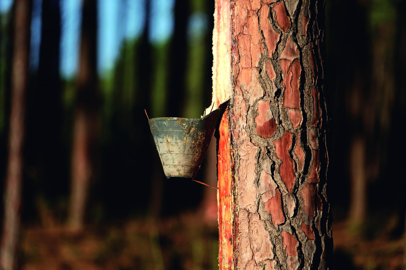 1.000 toneladas de Resina Natural del Pinus Pinaster Soriano en 2018