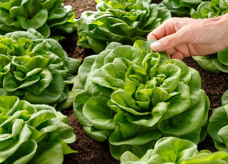 Florette Ibérica inicia la cosecha de lechugas y escarolas en sus 200 hectáreas sorianas de cultivo natural