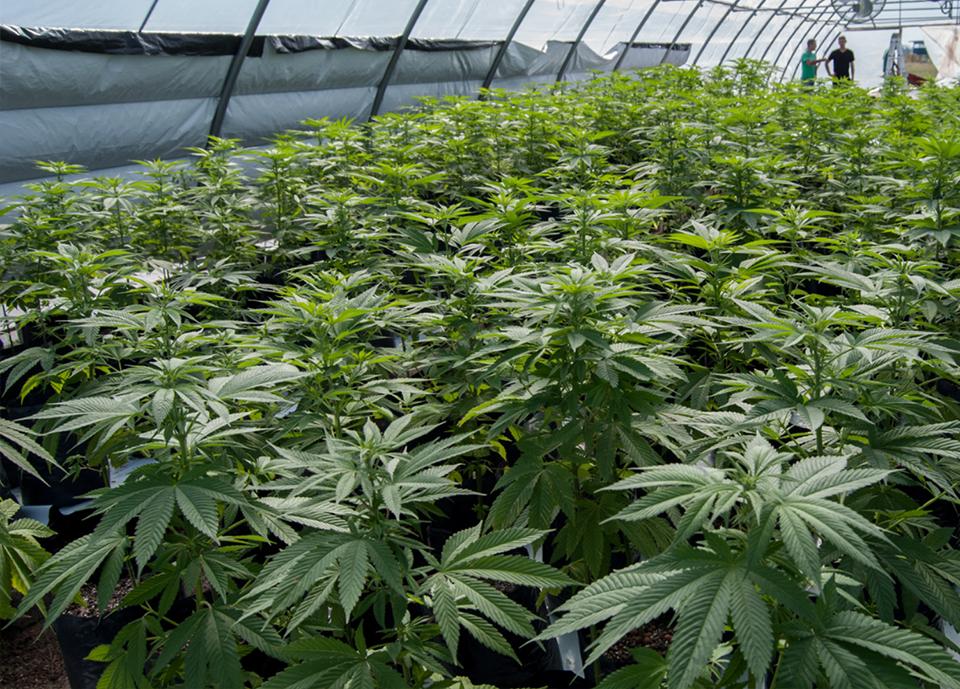 La estadounidense Full Moon LLC apuesta por Soria para cultivar cannabis
